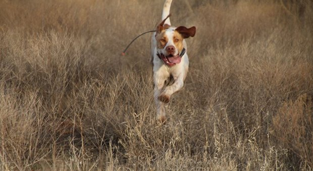 Your dog works hard during a hunting day, there is no doubt. But feeding him a meal during the hunt will not enhance performance, and could be harmful.