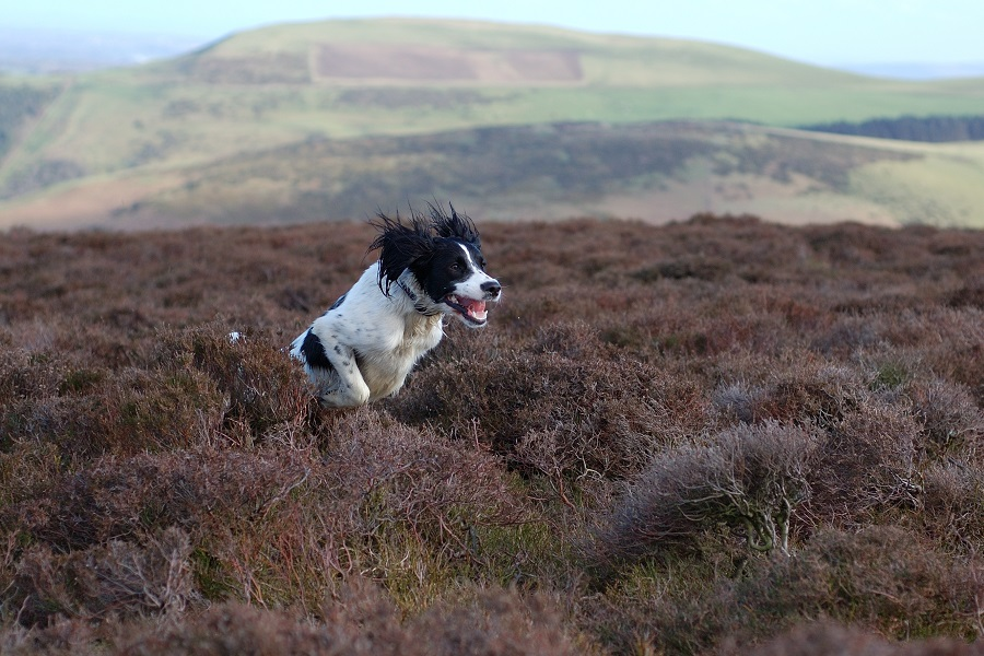 Springer spaniel hunting scaled quail